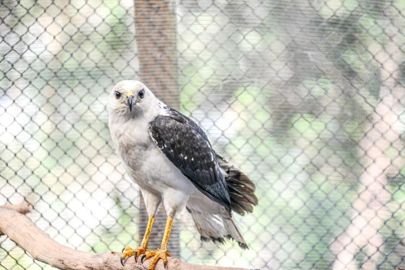 Gavião-pombo reabilitado volta à natureza