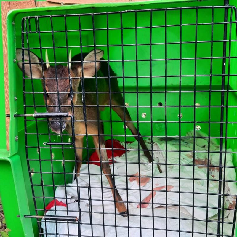 Veado reabilitado é solto no Parque Estadual do Forno Grande